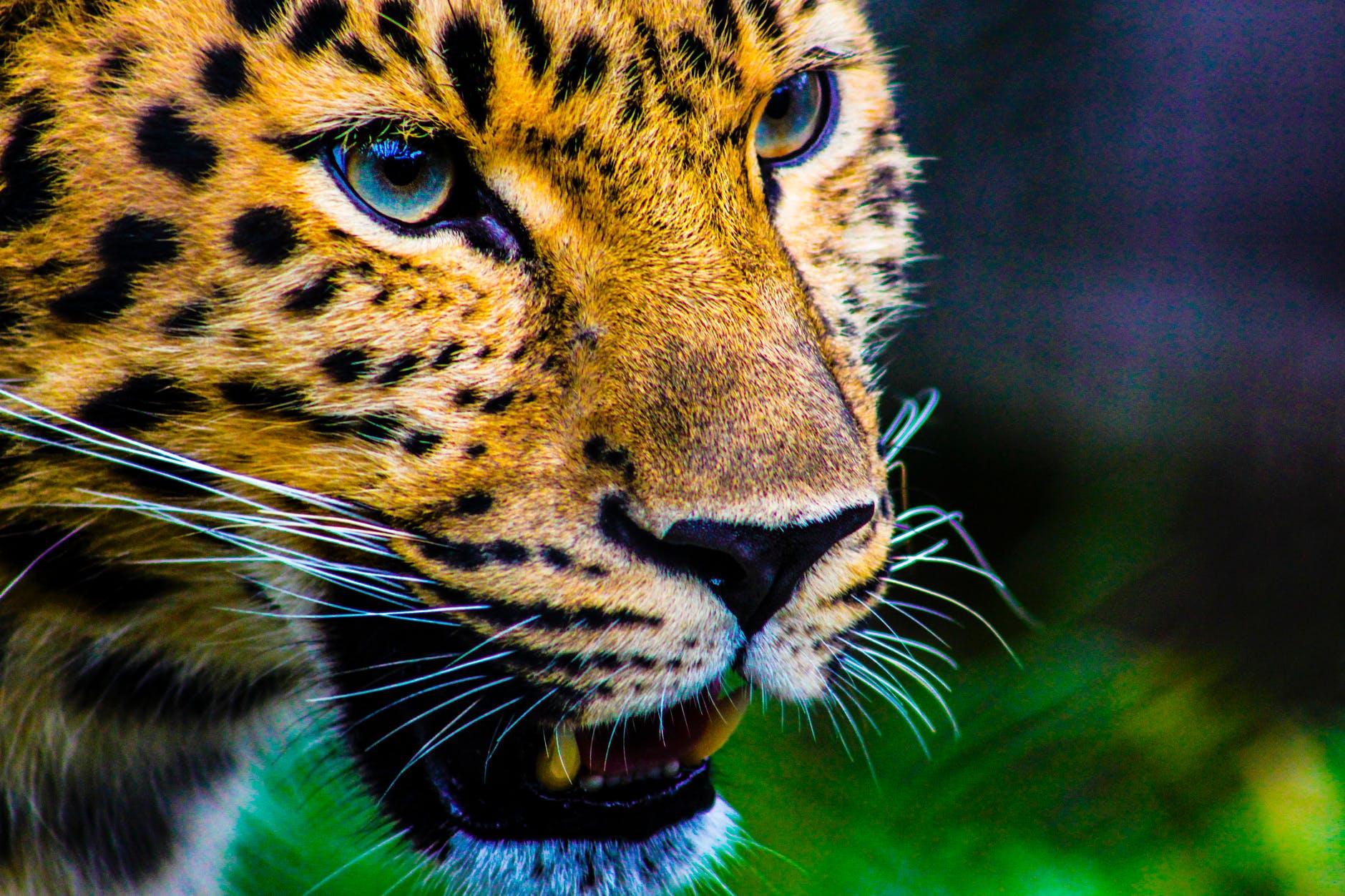AES anuncia iniciativa para preservar el jaguar en México